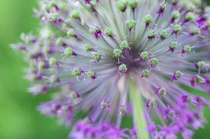 Fialová kvetina